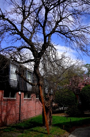 Bethnal Green Mulberry Tree